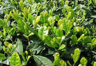 湖南茶产业将在2020年实现茶叶产值1000亿元