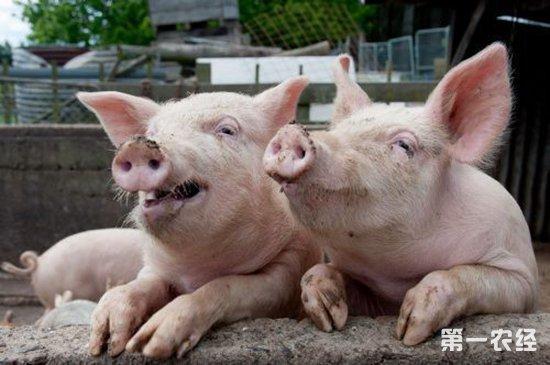 八省猪价破8,其他地区的猪价何时跟进?