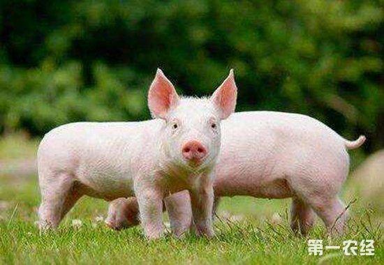 冬天要怎么养幼仔猪?养好幼仔猪的注意事项