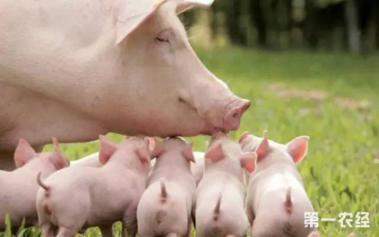 母猪没奶怎么办?母猪的催奶方法