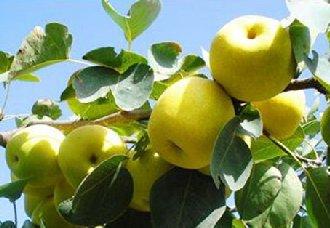 梨树休眠期的病虫害防治技术