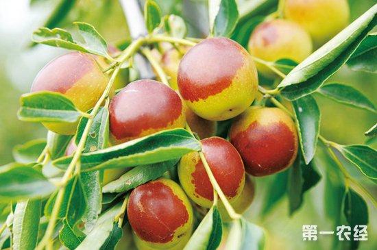 冬枣怎么种?种植冬枣的注意事项