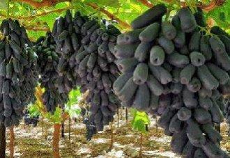 蓝宝石葡萄怎么种?蓝宝石葡萄的种植技术