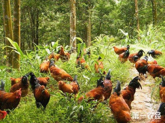 林下养鸡该怎么养?林下养鸡的注意事项