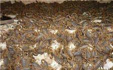 澳门永利娱乐网址蝎子时要注意防范哪些疾病?蝎子最常见的两种疾病