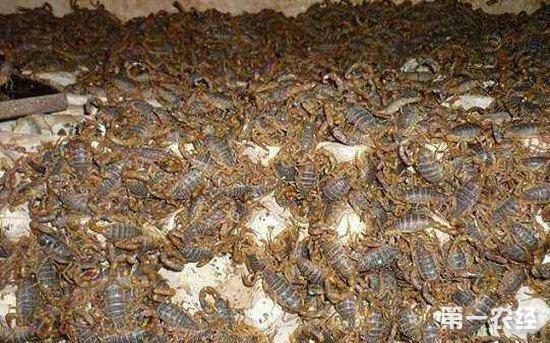养殖蝎子时要注意防范哪些疾病?蝎子最常见的两种疾病