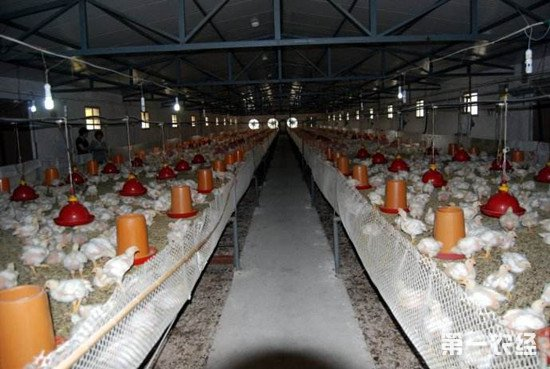 如何防止鸡群爆发疾病?每天都要检查这几件事