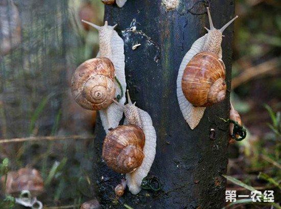 养殖蜗牛时常见的疾病有哪些?如何防治