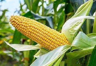 宁夏玉米质量良好 优越率达99%