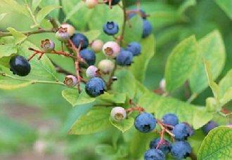 <b>加拿大将以自然的方式扩大野生蓝莓的面积 提高野生蓝莓产量</b>