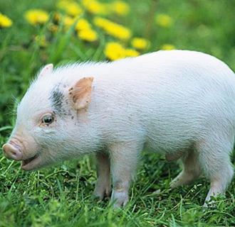 仔猪要怎么补铁?仔猪补铁的注意事项