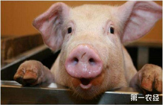 养猪场要怎么防疫?猪场防疫必知的要点