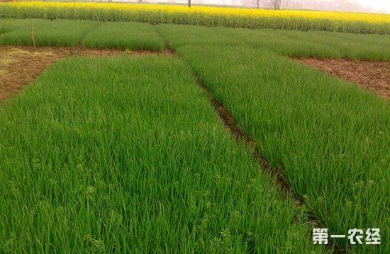 贵州松林坡:小香葱让村民的生活越来越富裕