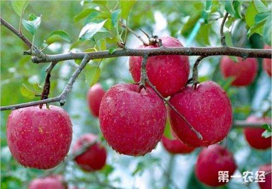 怎么预防苹果日灼病?苹果日灼病的预防措施