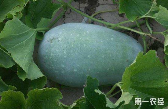冬瓜要怎么种?种植冬瓜的注意事项
