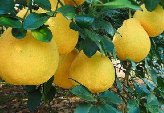 柚子采摘后要做什么?柚子采摘之后的果园管理技术