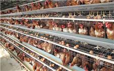 如何防止野生动物袭击鸡舍?这个方法效果显著