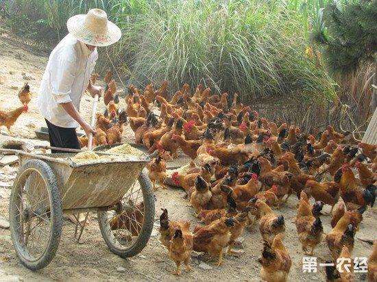 怎么降低养鸡成本?降低饲料的浪费率很重要
