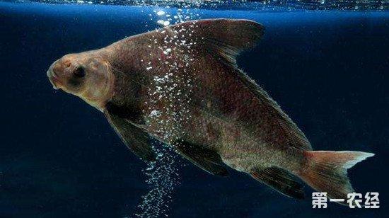胭脂鱼养殖技术:胭脂鱼如何越冬?