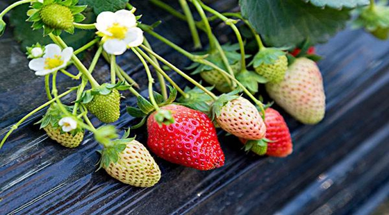 江苏南京将于明年3月举办第二届国际草莓品牌大会