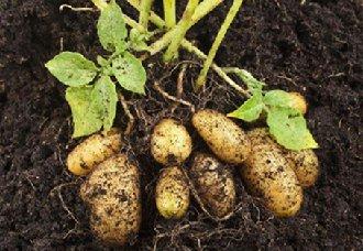 <b>中国马铃薯种薯在俄罗斯试种成功 将开启中俄农业跨境合作新篇章</b>