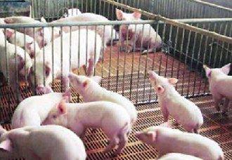 非洲猪瘟这么可怕,它是怎么传入中国的?