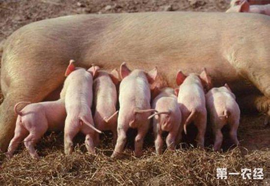 仔猪断奶期要怎么管理?仔猪断奶期的管理技术