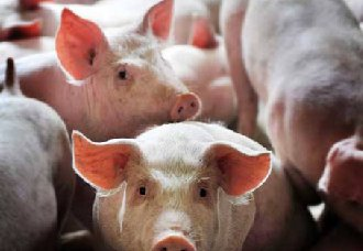 哪些中草药可以养猪?有什么好处?