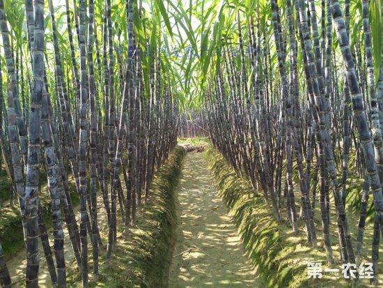 甘蔗在陕西汉滨试种成功,为农民带来致富新希望