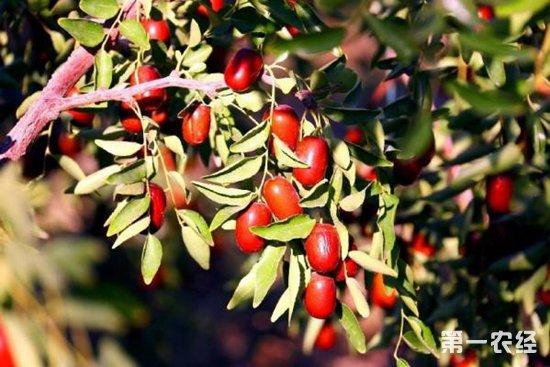 3万亩红枣树为乡民们带来了幸福的生活