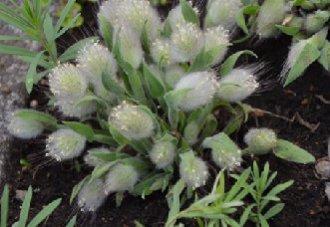 兔尾草要怎么种?兔尾草的种植技术
