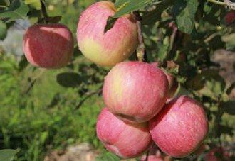 苹果树为什么会掉果?该如何解决?