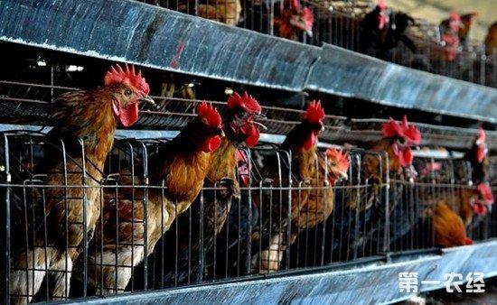 笼养鸡养殖技巧:笼养鸡养出土鸡味