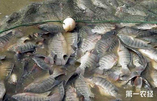 罗非鱼怎么安全过冬?保障罗非鱼安全过冬的几个方法