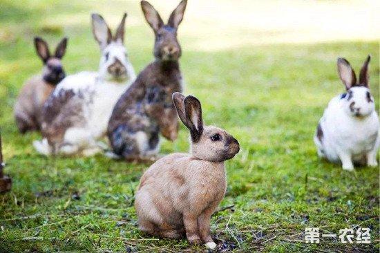 怎么养好兔子?兔子澳门永利娱乐网址时的一些注意事项