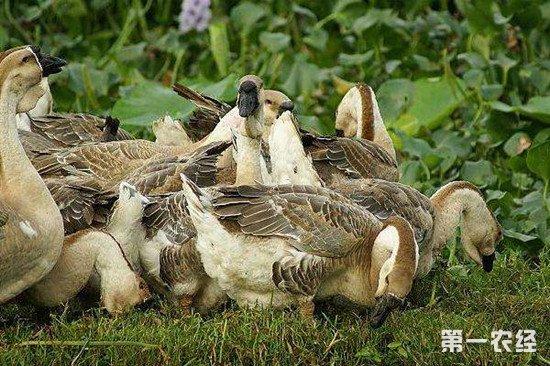 减少鸭子的死亡率 一定要注意这几点