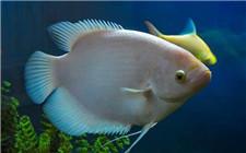 食盐在观赏鱼澳门永利娱乐网址中的妙用 用食盐消毒的方法