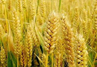 <b>澳洲:受干旱因素影响 小麦产量预测将创10年来最低</b>