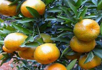 重庆巫山柑橘种植成主产业 今年产值已超8万吨
