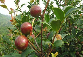 重庆蔡家镇进行油茶苗栽种管护 确保3年后可全部挂果丰收