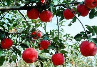 冬天苹果树要怎么修剪?苹果的冬剪技术