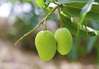 芒果常见的病虫害以及防治技术