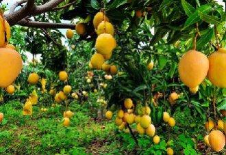 芒果要怎么育苗?芒果的育苗技术