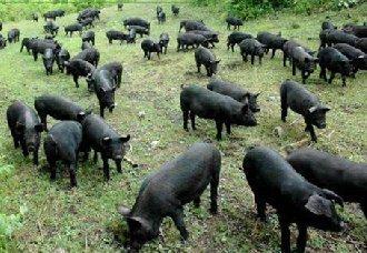 黑猪要怎么养?黑猪的饲养管理技术