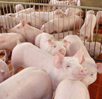 要怎么判断母猪是否生产完了?
