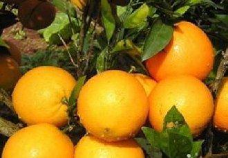冰糖橙要怎么种?冰糖橙的种植技术