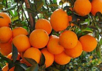 脐橙要怎么保花保果?脐橙保花保果技术