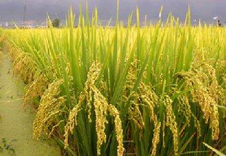 """我国南方稻区将推进""""籼改粳""""工程 让粮农增产增收"""