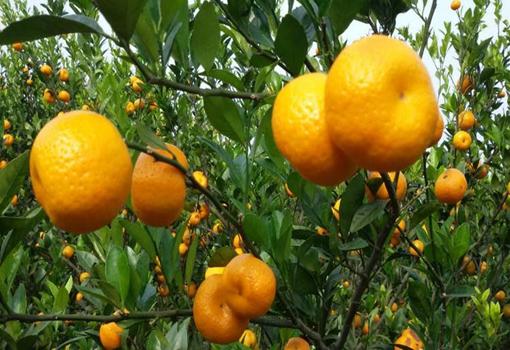 柑橘一斤两毛五 我国多个柑橘产地出现严重滞销