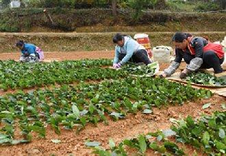贵州纳雍县500亩茶园进行茶苗扦插 为纳雍茶产业发展奠定基础